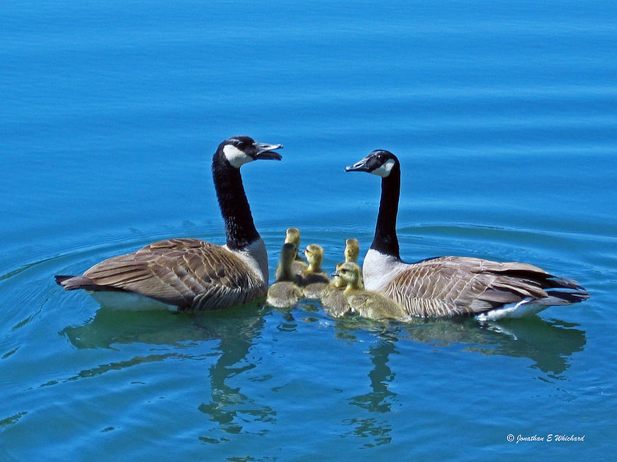 Bird Photograph - Family Canada Geese by Jonathan Whichard