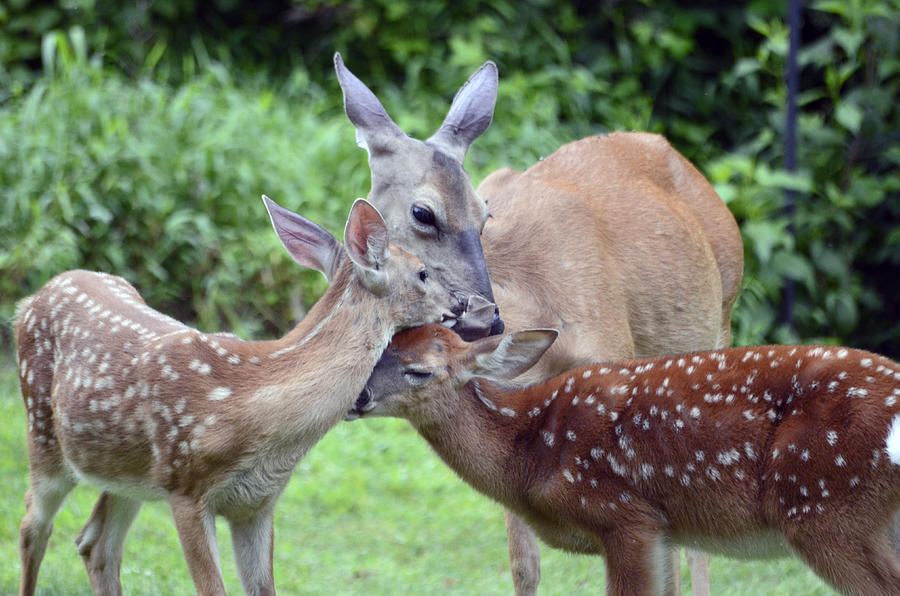 Deer Photograph - Family Hug by Lori Tambakis