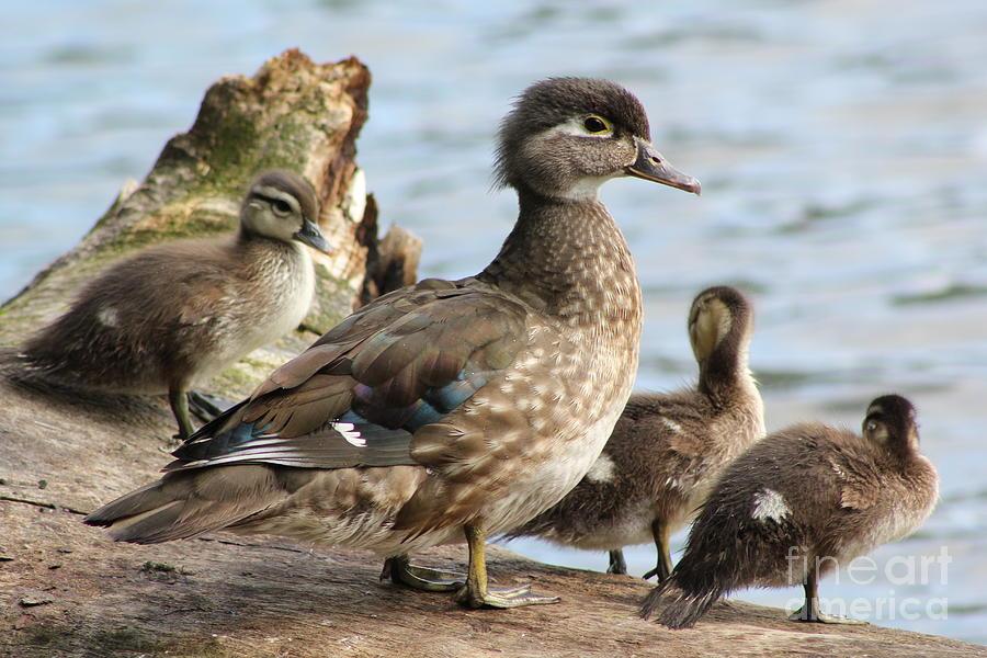 Ducks Photograph - Family Of Ducks by Michael Paskvan