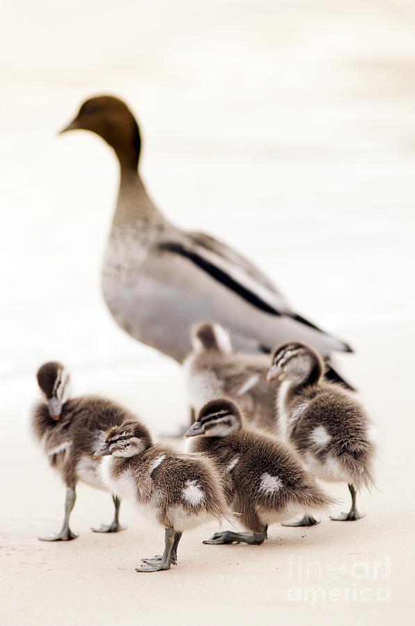Family Of Ducks Photograph