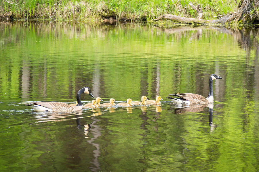 Bird Photograph - Family Outing by Bill Pevlor