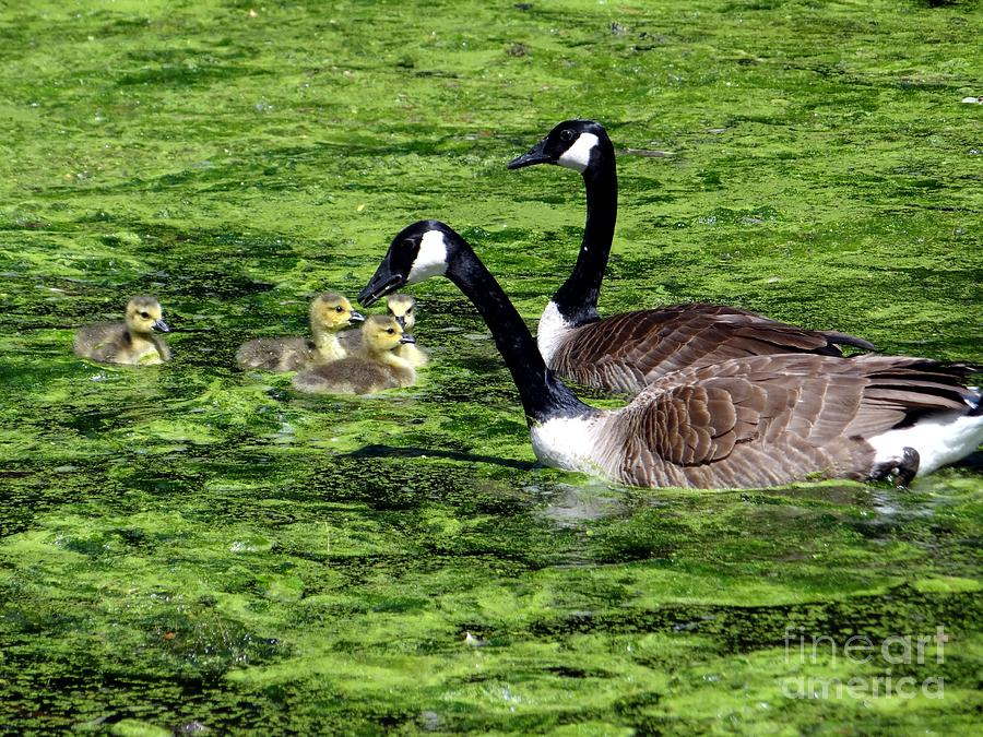 Ducks Photograph - Family Outing by Ed Weidman