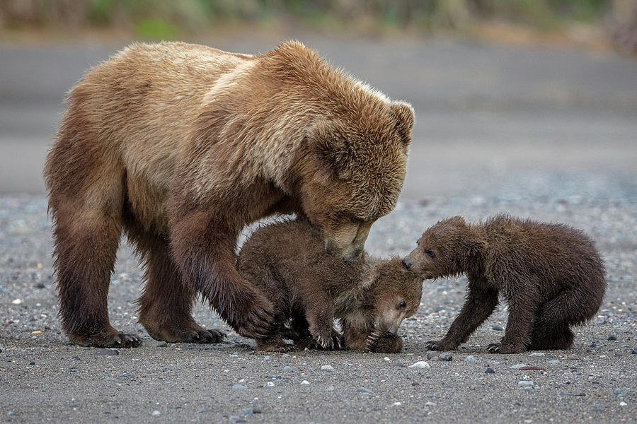 Bears Photograph - Family Tug Of War by Renee Doyle