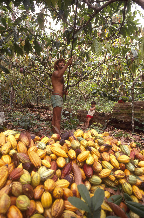 Family Work At Cocoa Plantation, Cultural Traditions Of    by Brazil Photos