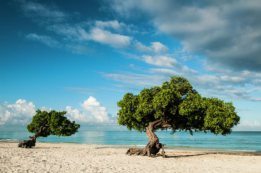 Aruba Photograph - Famous Divi Divi Trees On Sandy Beach by Josh Miller Photography