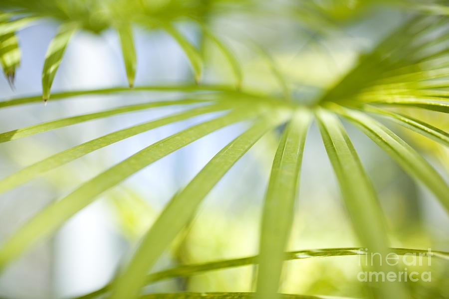 Hawaii Photograph - Fan Palm Fronds by Charmian Vistaunet