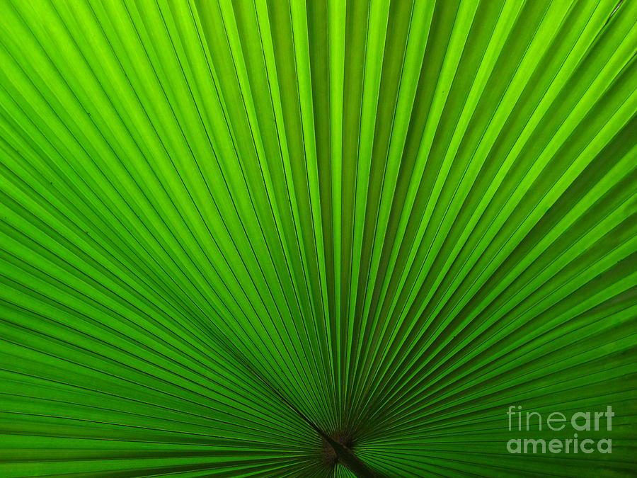 Palm Photograph - Fan Palm by Ranjini Kandasamy
