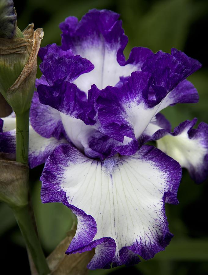 Nature Photograph - Fancy Iris by Michael Friedman