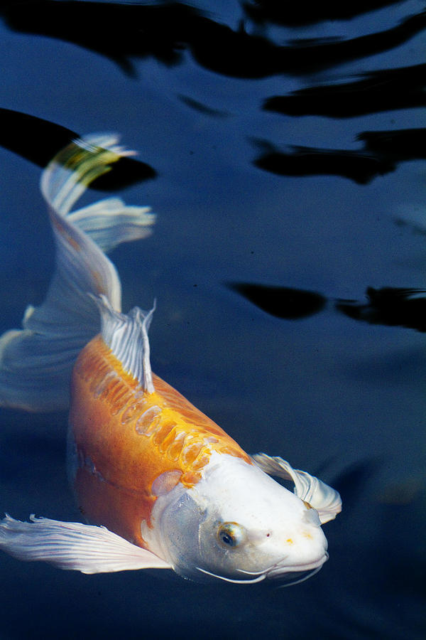 Koi Photograph - Fantail Girl by Rebecca Cozart