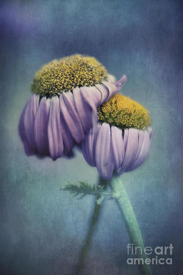 Daisy Photograph - Farewell by Priska Wettstein