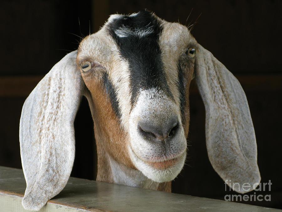 Goat Photograph - Farm Favorite by Ann Horn