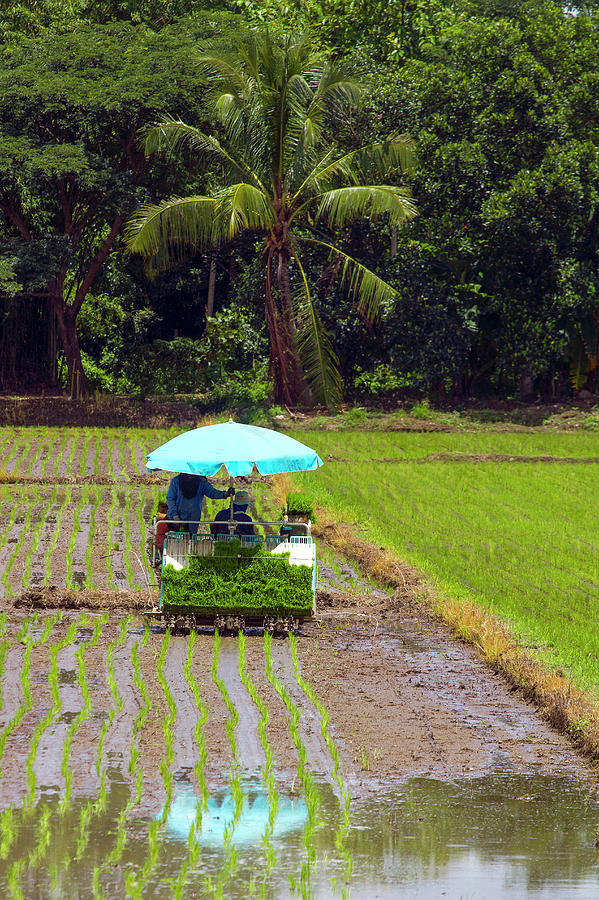 Farmers With A Rice Transplanting Photograph by Jean-claude Soboul