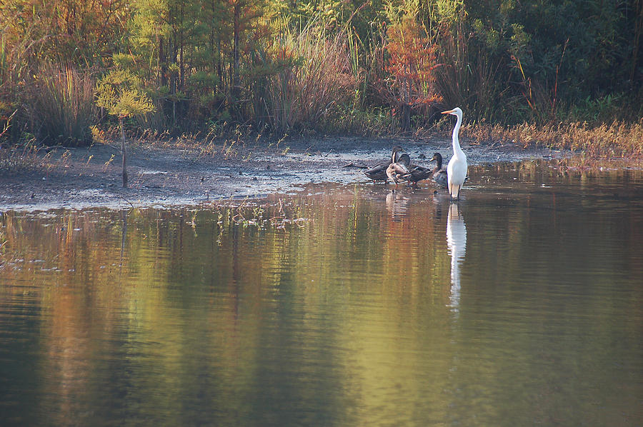 Egret Photograph - Fast Feathered Friends by Suzanne Gaff