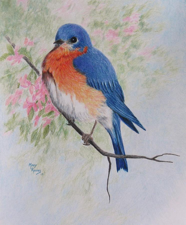 Nature Drawing - Fat And Fluffy Bluebird by Mary Rogers
