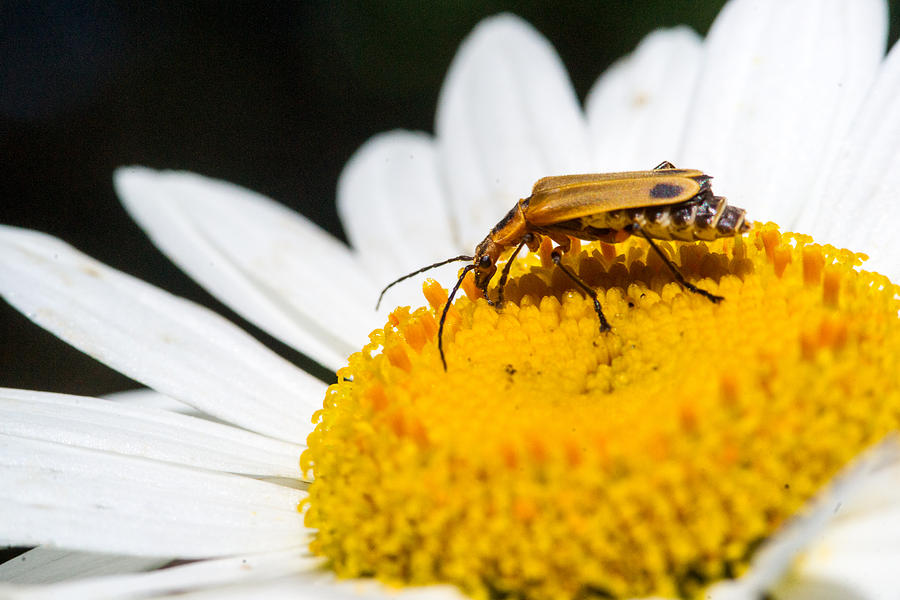 Fat Lightning Bug Feeding On Daisy Pollen 2 Photograph