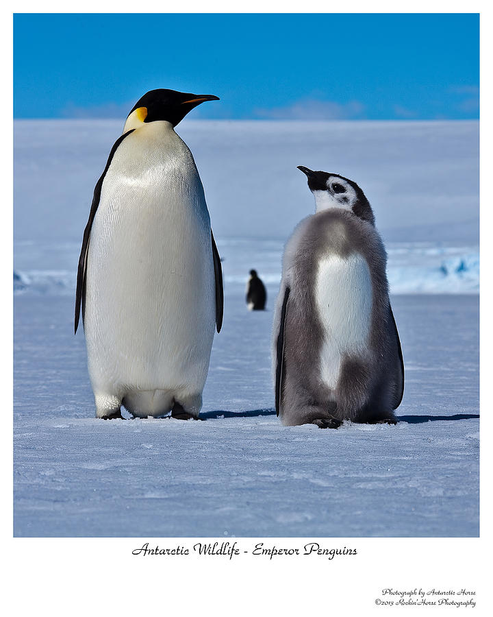 Emperor Penguin Photograph - Father And Son by David Barringhaus