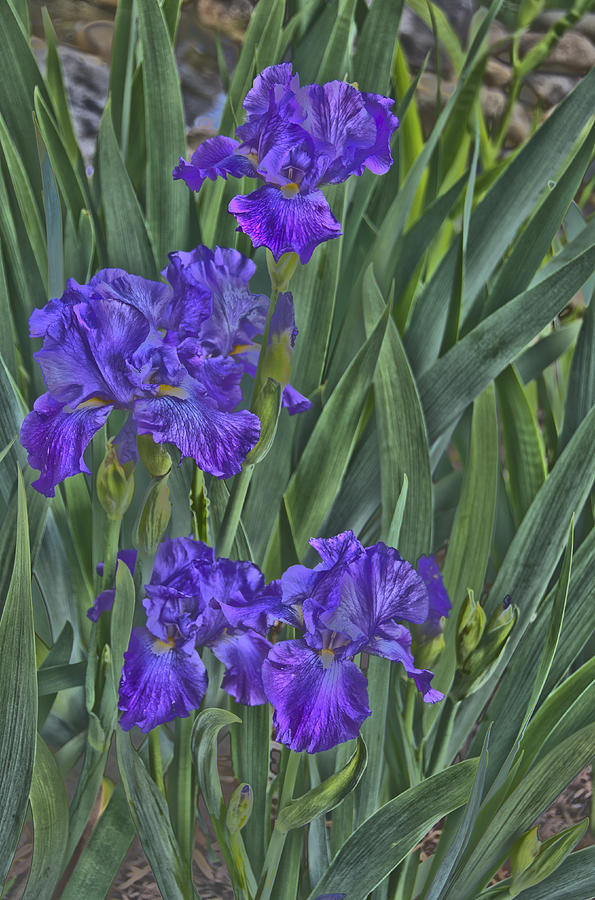 Flowers Photograph - Faux Painted Irises by Penny Lisowski