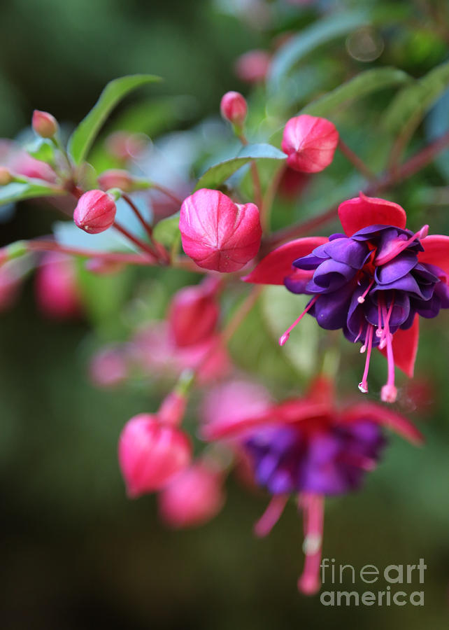 Fuchsia Photograph - Favorite Fuchsia by Carol Groenen