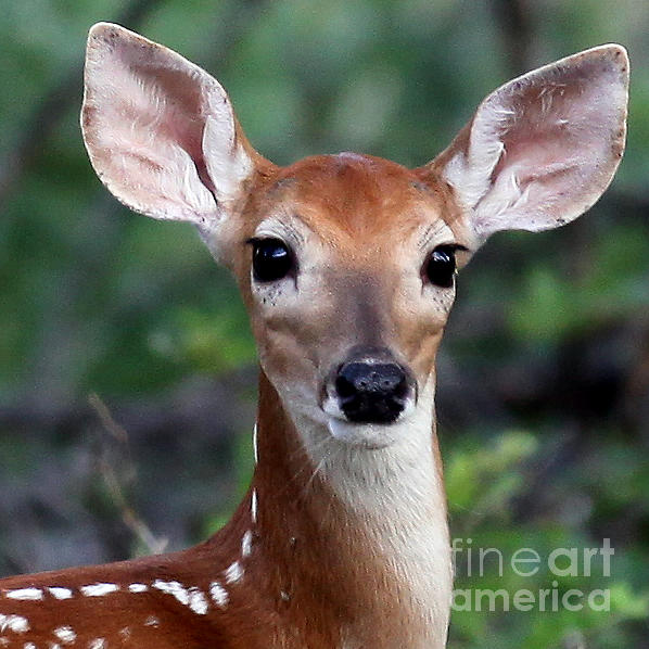 Fawn Photograph - Fawn  by DS Dodd
