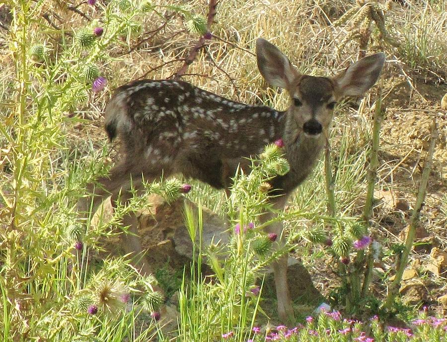 Fawn Photograph - Fawn In Thistles by Feva  Fotos