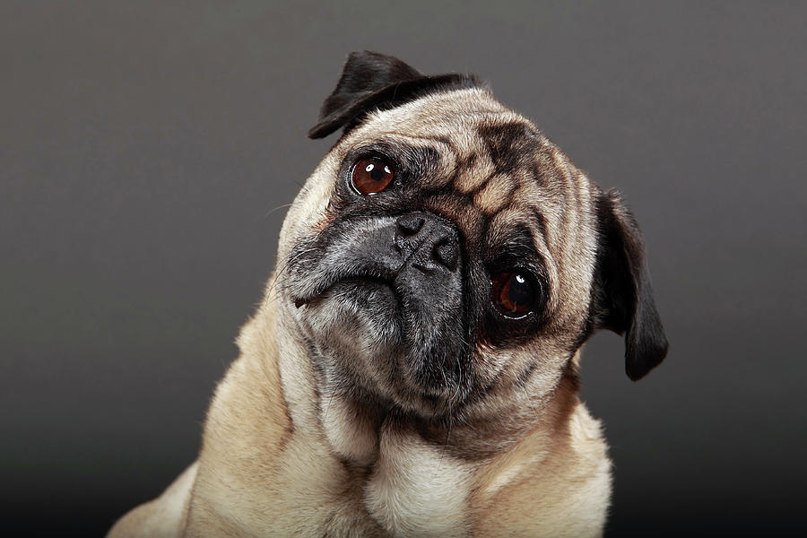 Fawn Pug Photograph by Mlorenzphotography