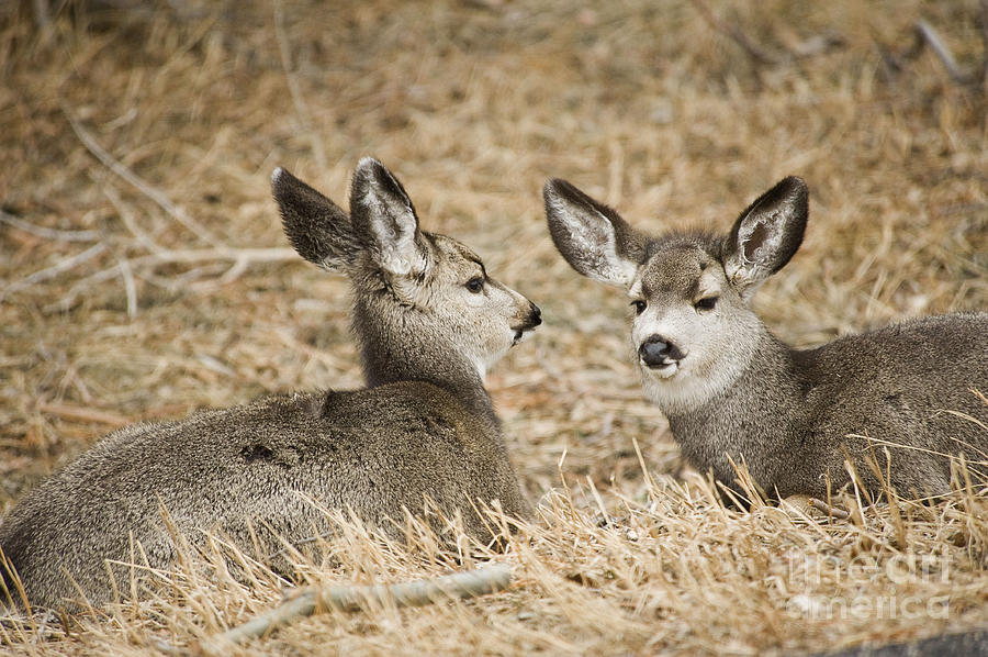 Nature Photograph - Fawns At Rest by Bob Dowling