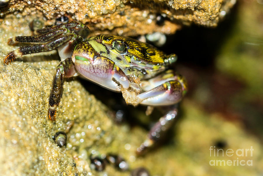 Crab Photograph - Feasting Crab by Michelle Burkhardt