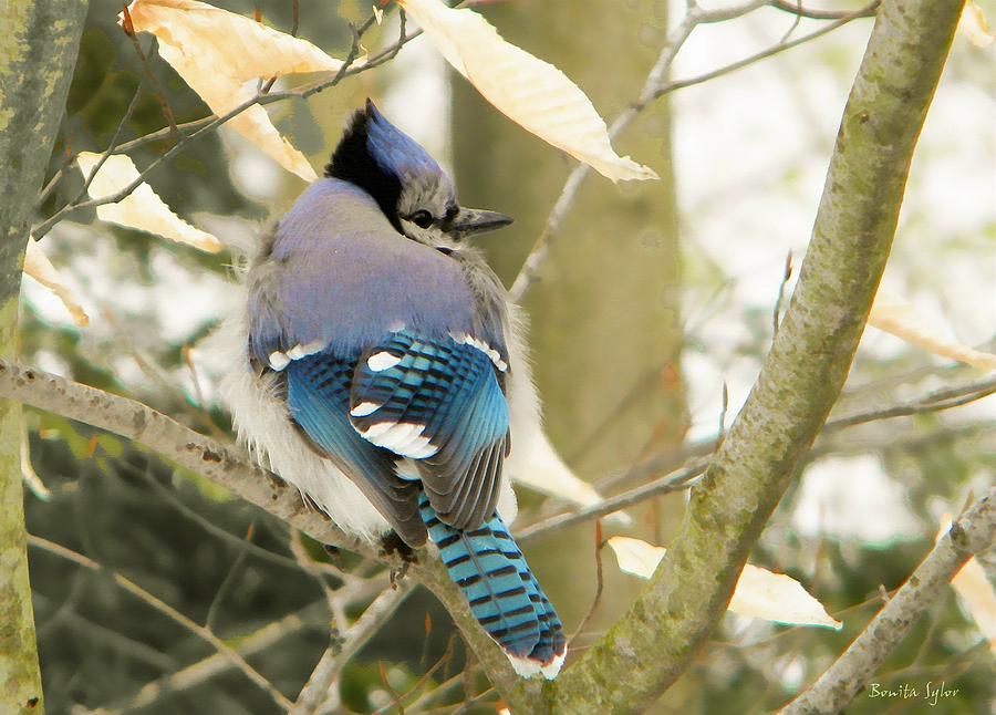 Animal Photograph - Feather Focused Blue Jay by Bonita S Sylor