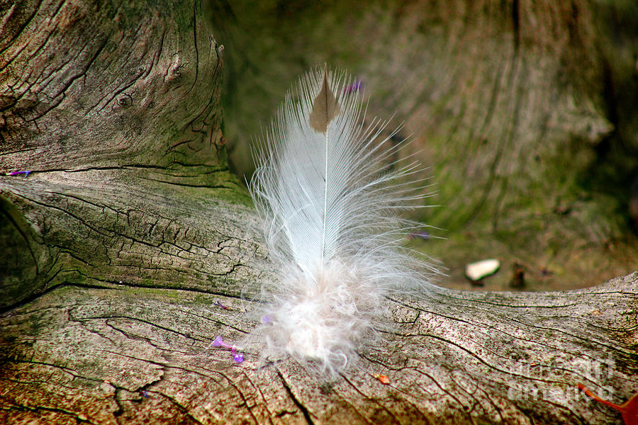 Feather Photograph - Feather by Karen Adams
