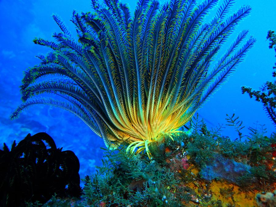 Diving Photograph - Feather Star Moving by Mangin Jean