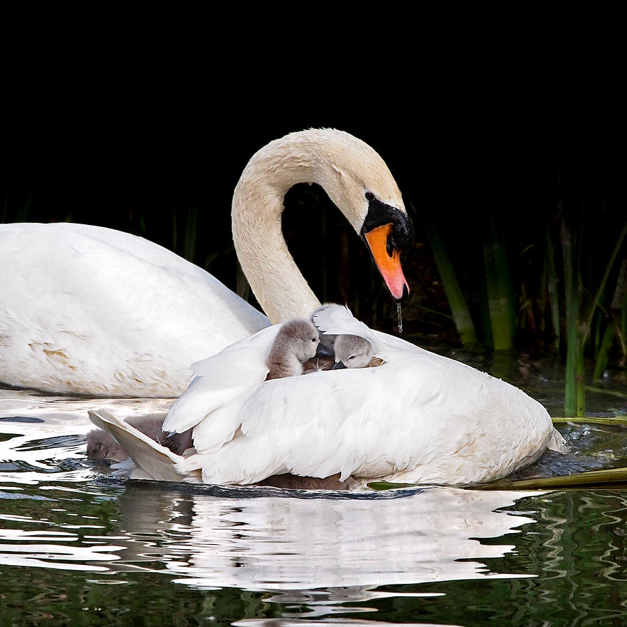 Cygnet Photograph - Feather Sunshade Square by Gill Billington
