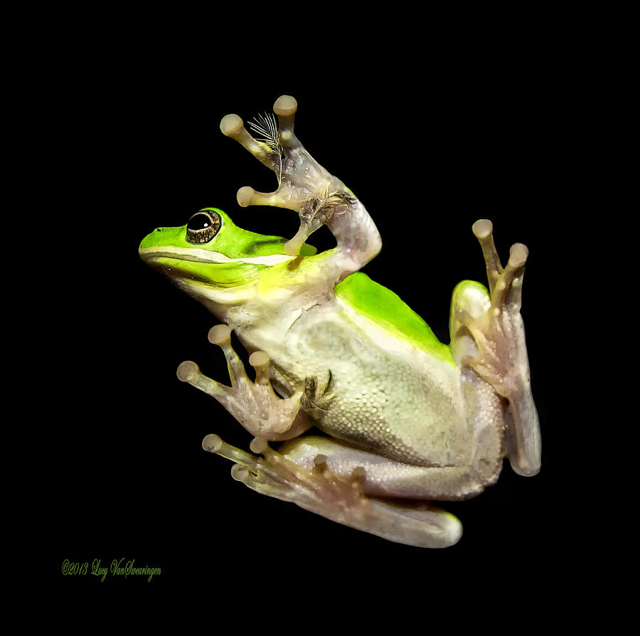 Feather Photograph - Feathered Frog by Lucy VanSwearingen