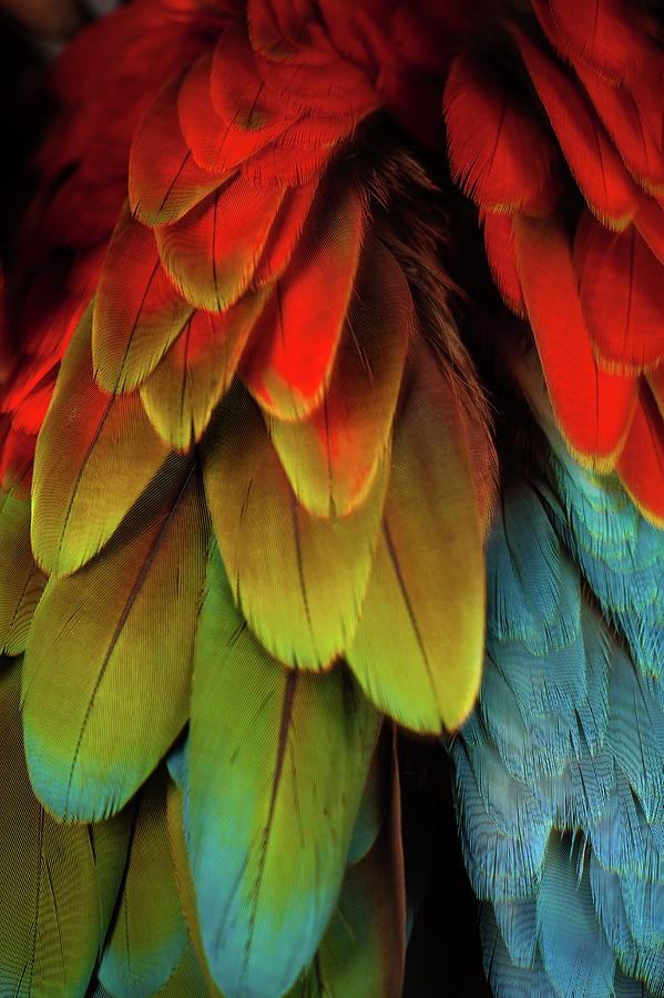 Feathers On A Scarlet Macaw Photograph by Tim Platt