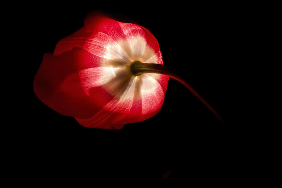 Flower Photograph - Feathery Tulip by Andrew Soundarajan