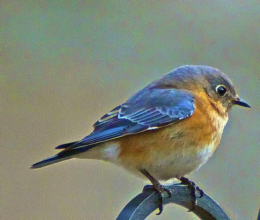Febuary Photograph - Febuary Bluebird  by Constantine Gregory