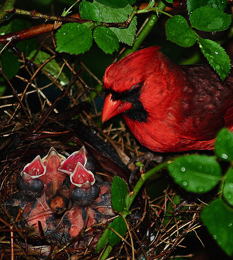 Cardinal Photograph - Feed Me Daddy by Frozen in Time Fine Art Photography