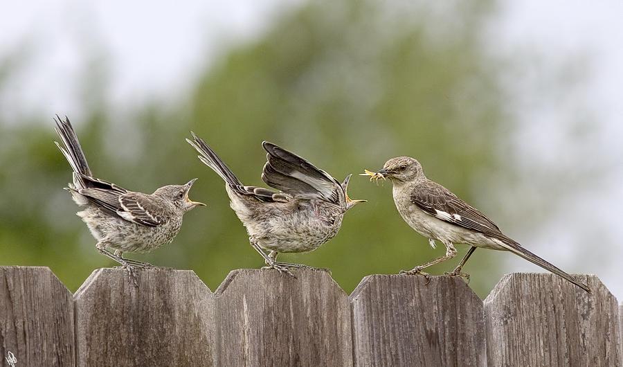 Mockingbird Photograph - Feed Me by Hazel Billingsley