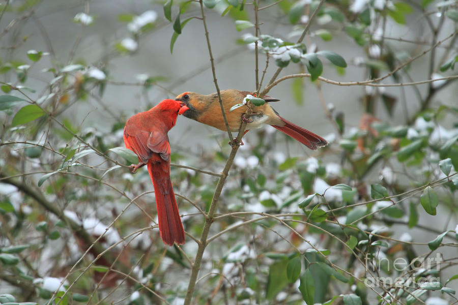 Cardinals Photograph - Feeding Cardinals by Geraldine DeBoer