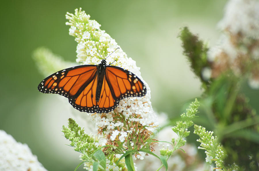 Feeding Summer Monarch Series Photograph by Debralee Wiseberg