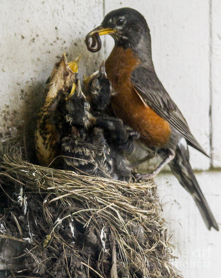 Robin Photograph - Feeding the chicks by Jill Bell