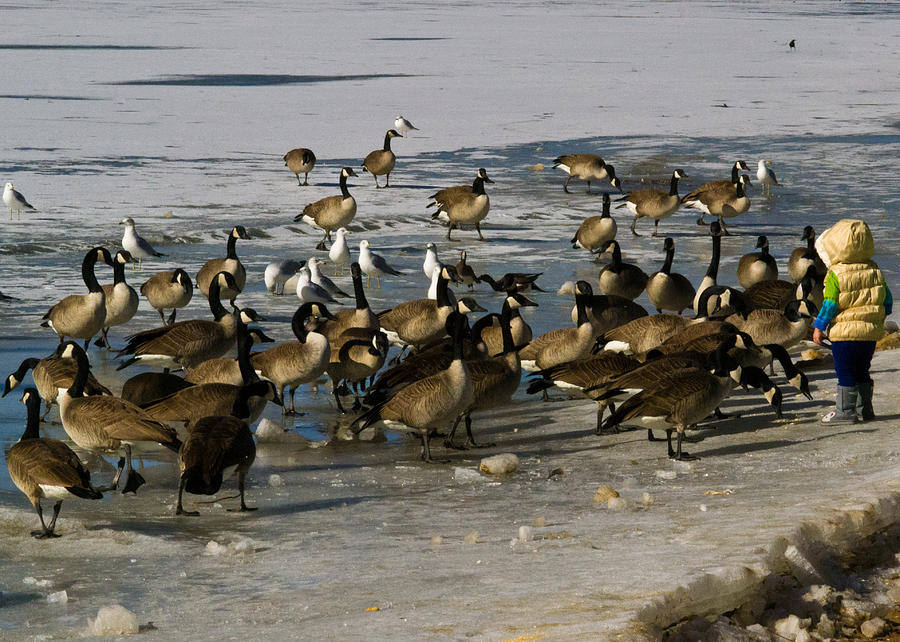 Winter Photograph - Feeding The Geese by Matt Radcliffe