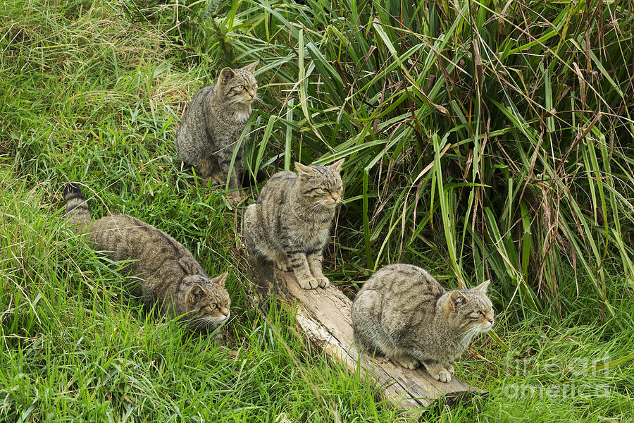 Wildcat Photograph - Feeding Time by Louise Heusinkveld