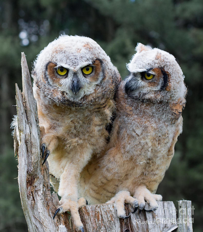 Great Horned Owl Photograph - Feeling A Little Grumpy Are We? by Barbara McMahon