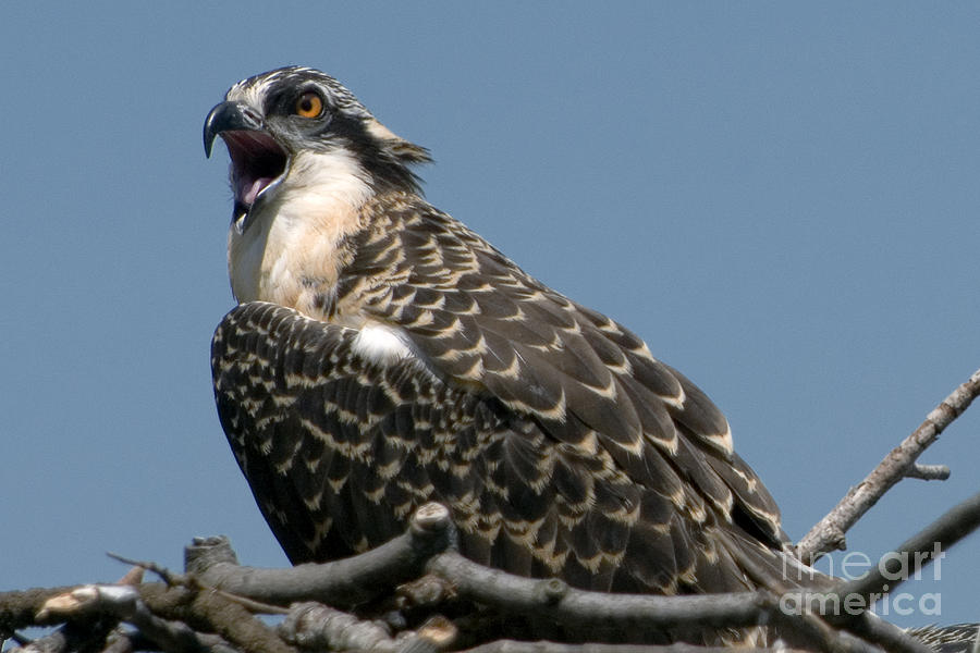 Parent Photograph - Feisty Osprey Chick Calls by Lauren Brice