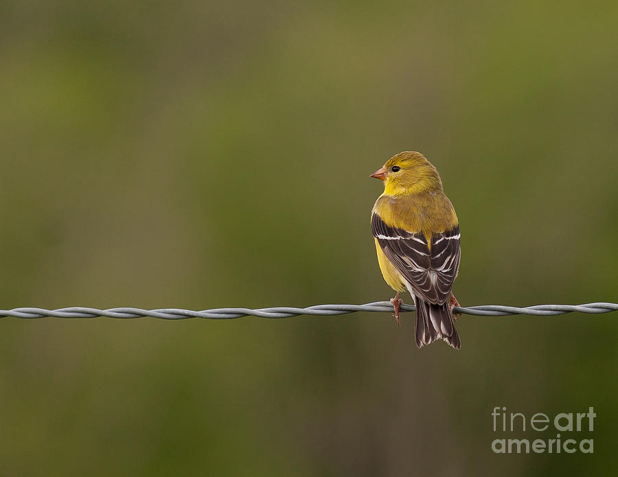 American Photograph - Female American Goldfinch by Douglas Stucky