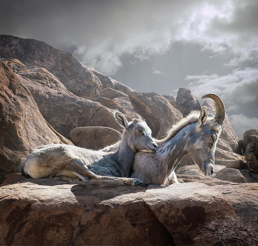 Female And Young Bighorn Sheep Photograph by Ed Freeman
