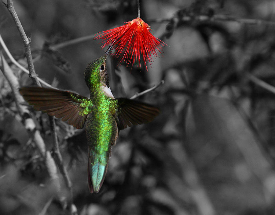 Anna's Photograph - Female Annas Hummingbird by Old Pueblo Photography