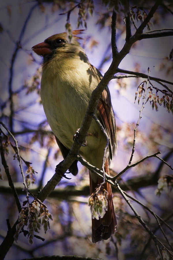 Female Cardinal Photograph - Female Cardinal by Barry Jones