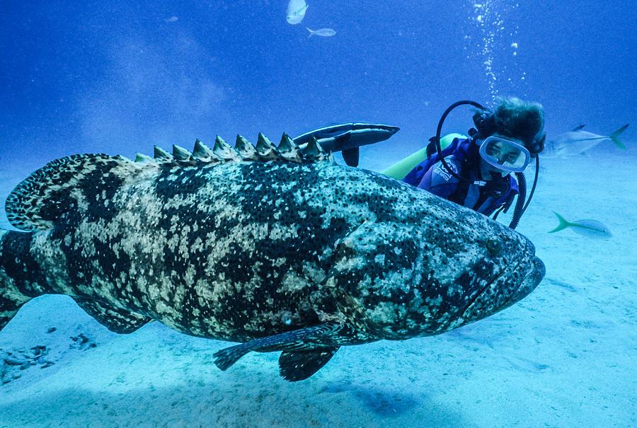 Female Diver Beside A 400 Lb Grouper Photograph