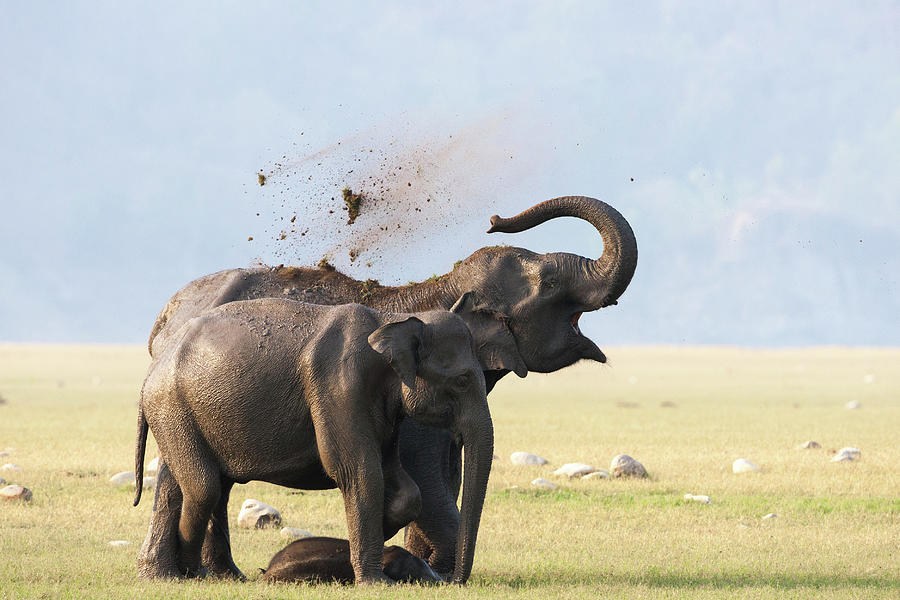 Female Elephants With Calf Photograph by Sabirmallick